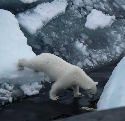 دب قطبي يقلق الغواصة الروسية